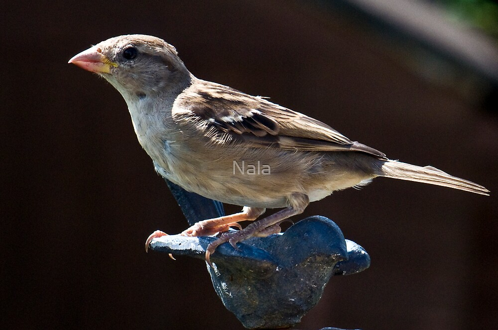 A Sparrow by Nala