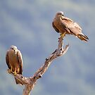 Black Kites by Dominika Aniola