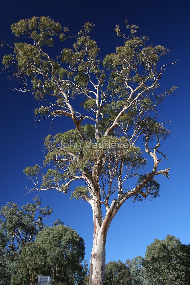 Ghost Gum near Albury by John Vandeven