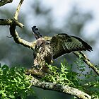 Young Buzzard Landing in a Tree, County Kilkenny, Ireland by Andrew Jones