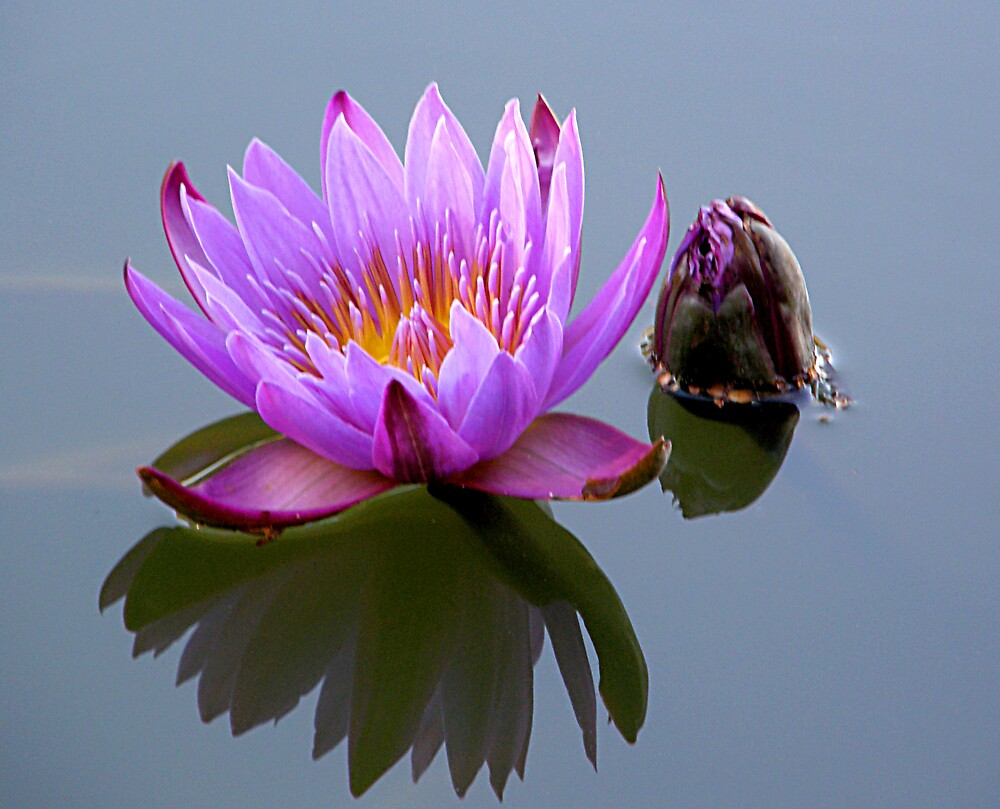 Water Lilly by Jen64