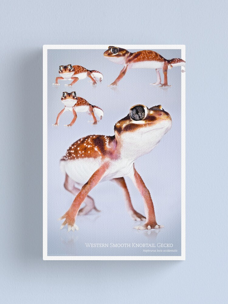 Alternate view of Western Smooth Knobtail Gecko [Nephrurus levis occidentalis] Canvas Print
