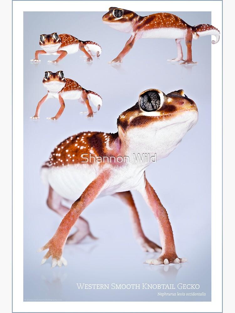 Western Smooth Knobtail Gecko [Nephrurus levis occidentalis] by ShannonPlummer