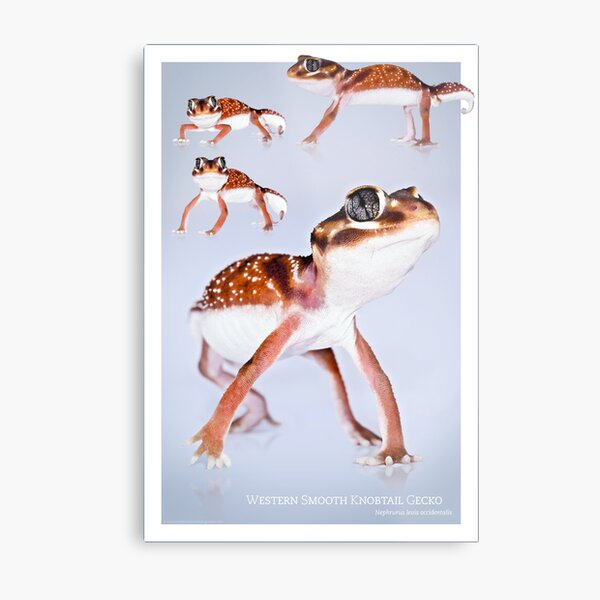 Western Smooth Knobtail Gecko [Nephrurus levis occidentalis] Metal Print
