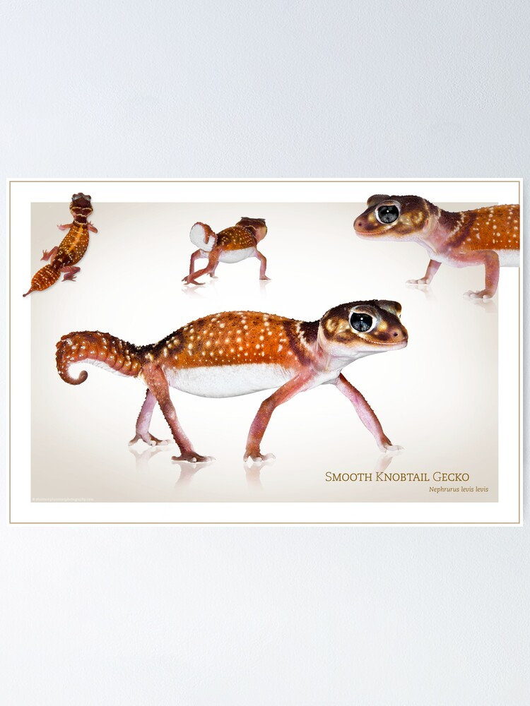 Alternate view of Smooth Knobtail Gecko [Nephrurus levis levis] Poster