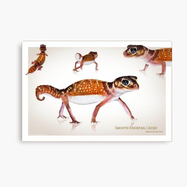Smooth Knobtail Gecko [Nephrurus levis levis] Canvas Print