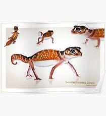 Smooth Knobtail Gecko [Nephrurus levis levis] Poster