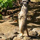 Meerkat Sentry  (Suricata suricatta) by lezvee