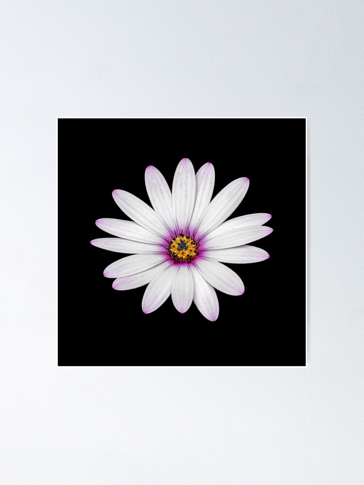 Alternate view of African Daisy Poster