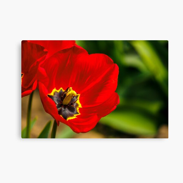 red tulip on green blurred background  Canvas Print