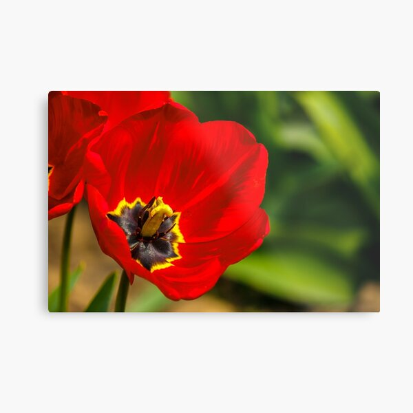 red tulip on green blurred background  Metal Print