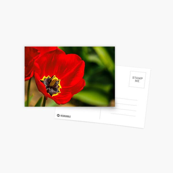 red tulip on green blurred background  Postcard