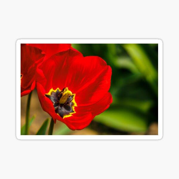 red tulip on green blurred background  Sticker