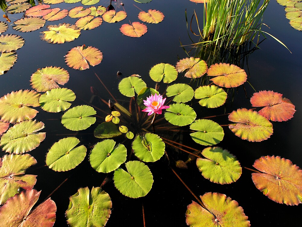 Autumn Water Lily by jselliott