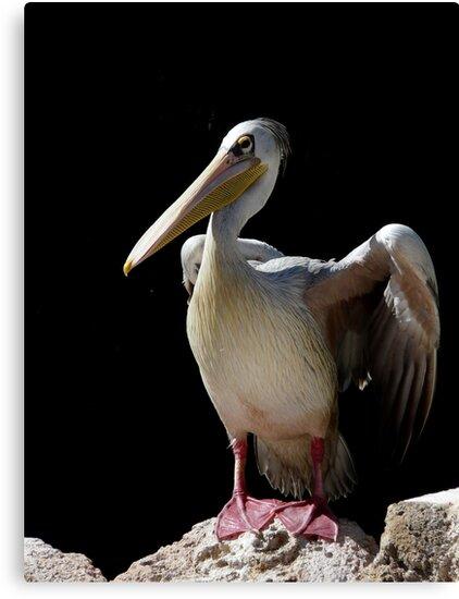 Pelican by Sorin  Reck