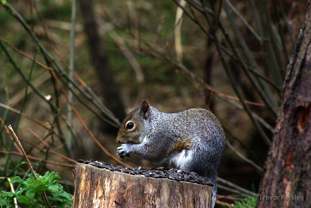 Grey Squirrel by Trevor Kersley