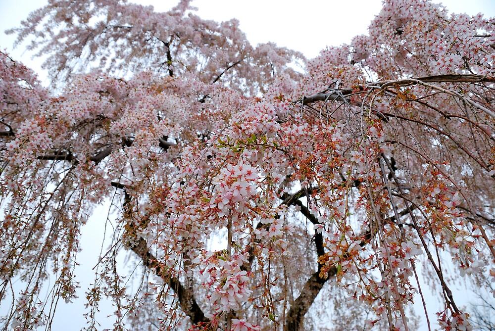 Cherry Blossoms by jselliott