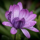 Rain on flower Leith Park Victoria 20170609 0731  by Fred Mitchell