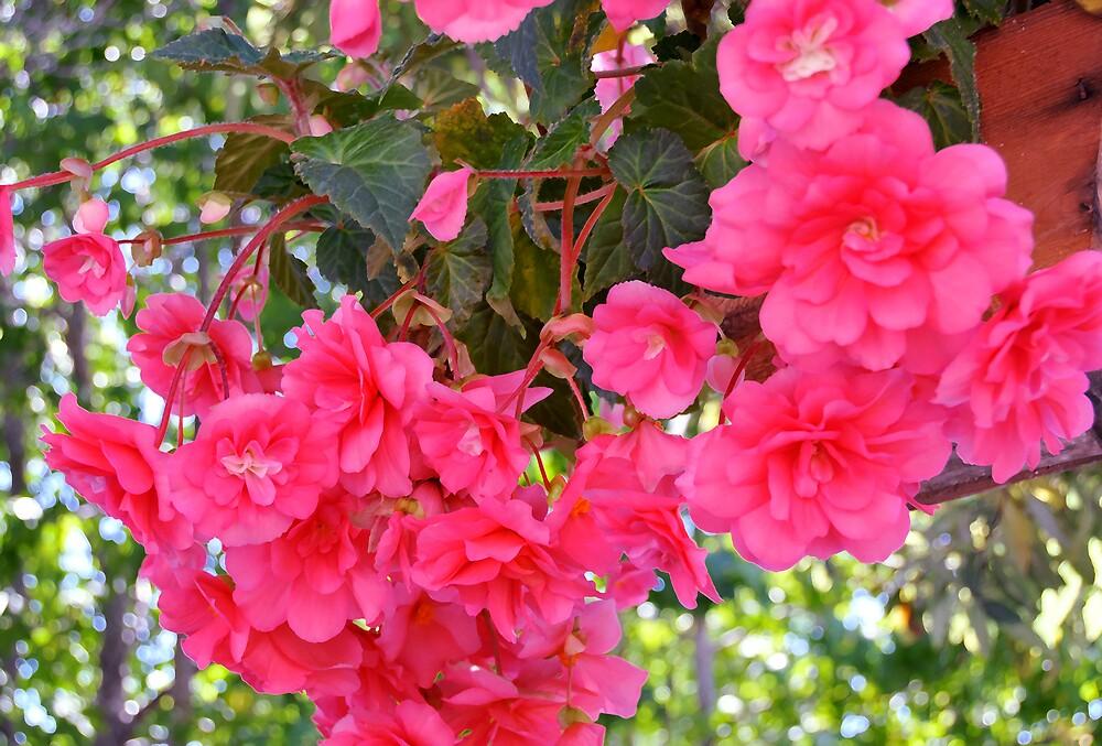 Begonia Enchantment by LorrieM