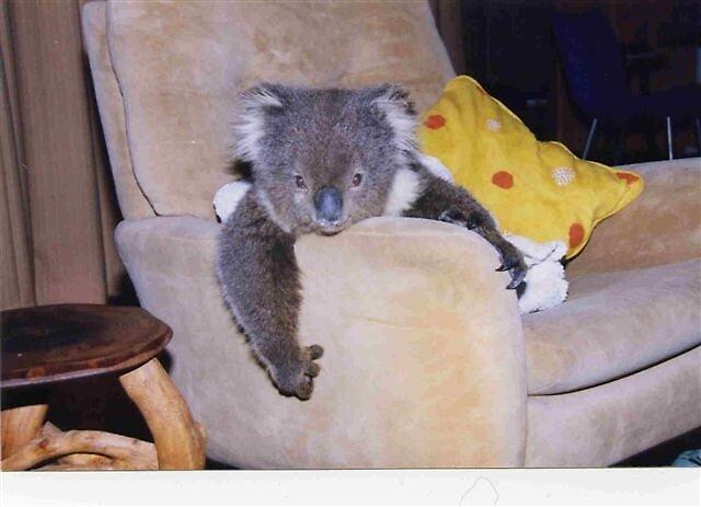 Koala by springplains