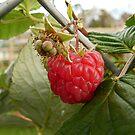 Raspberry by Northcote Community  Gardens