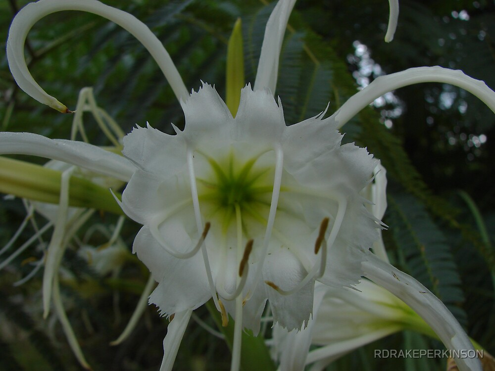 HYMENOCALLIS THE SPIDER LILY CLOSE UP by RDRAKEPERKINSON