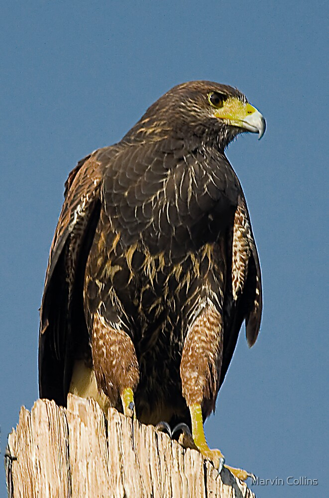 Proud Raptor by Marvin Collins