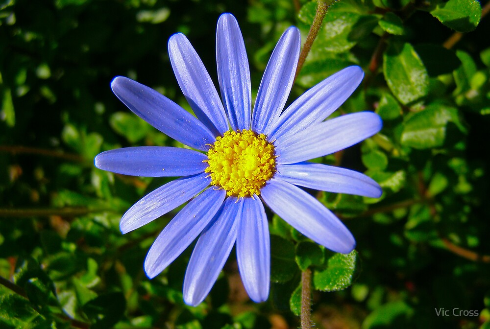 Purple daisy by Vic Cross