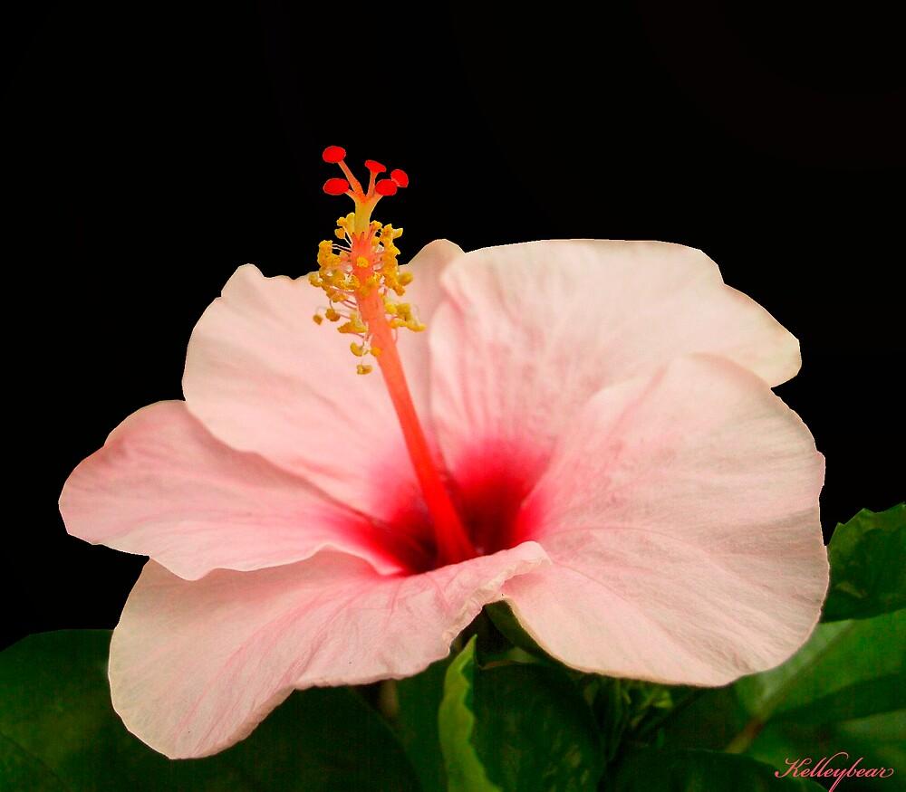 Hibiscus by kelleybear