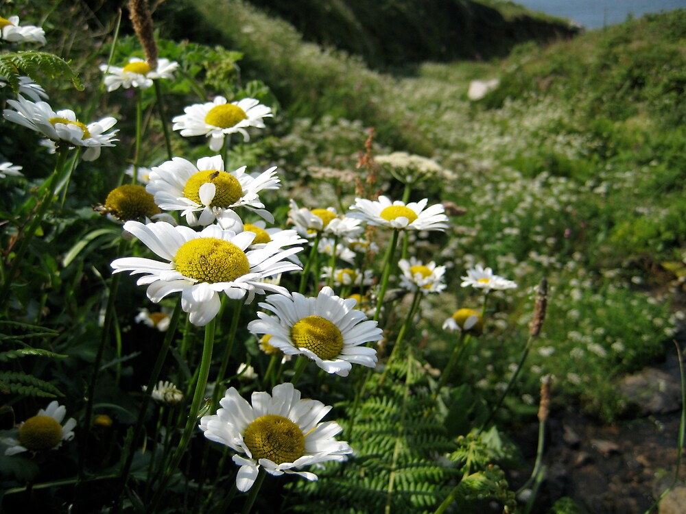 Daisies in Cornwall by Caitlin Fitzsimmons