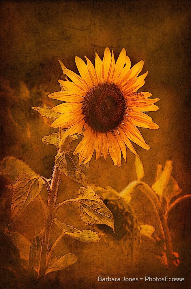 Textured Sunflower, Botswana, Africa. by PhotosEcosse