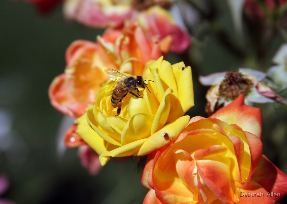 Bee on Yellow Rose by Deborah  Allen