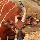 Twisted (Eastern or Mountain Bongo) by Anne-Marie Bokslag