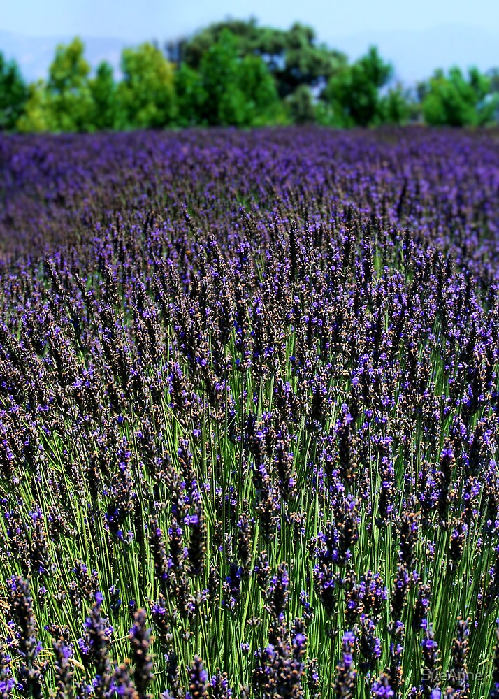 A Field Of Lavender by SueAnne