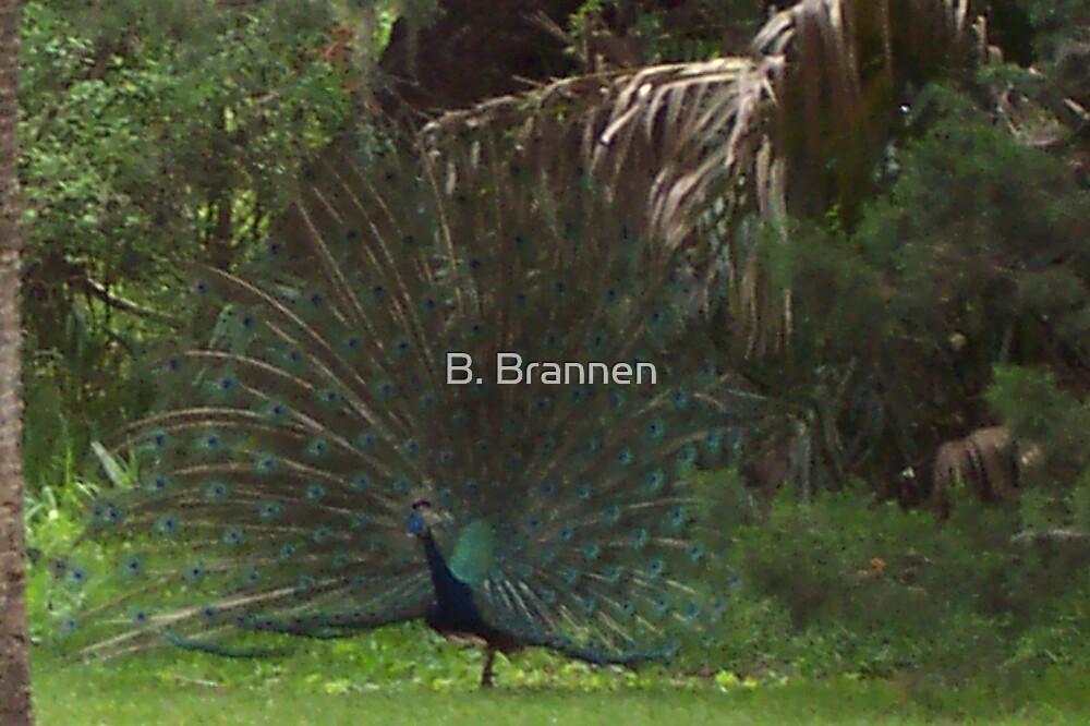 Peacock on Lawn by B. Brannen