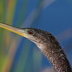Anhinga Portrait by TJ Baccari Photography