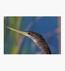 Anhinga Portrait Photographic Print