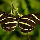 Zebra Heliconian by Lisa Putman