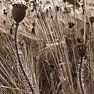 poppys by Terence J Sullivan