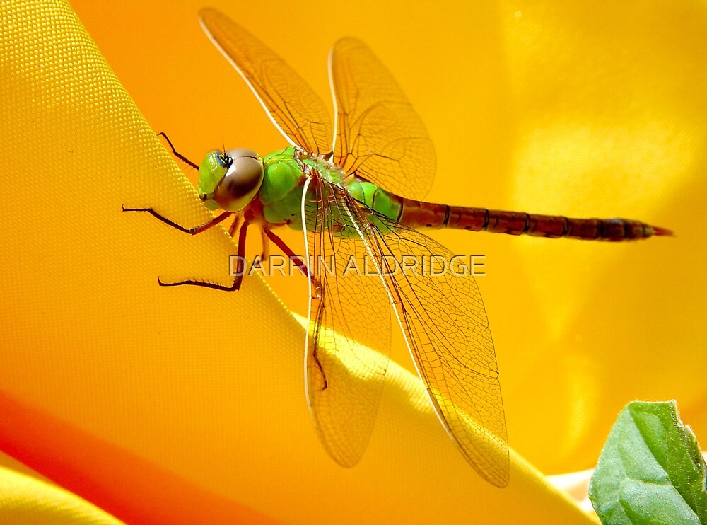 Majestic Green Darner Dragonfly by DARRIN ALDRIDGE