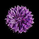 Purple cornflower by Sara Sadler