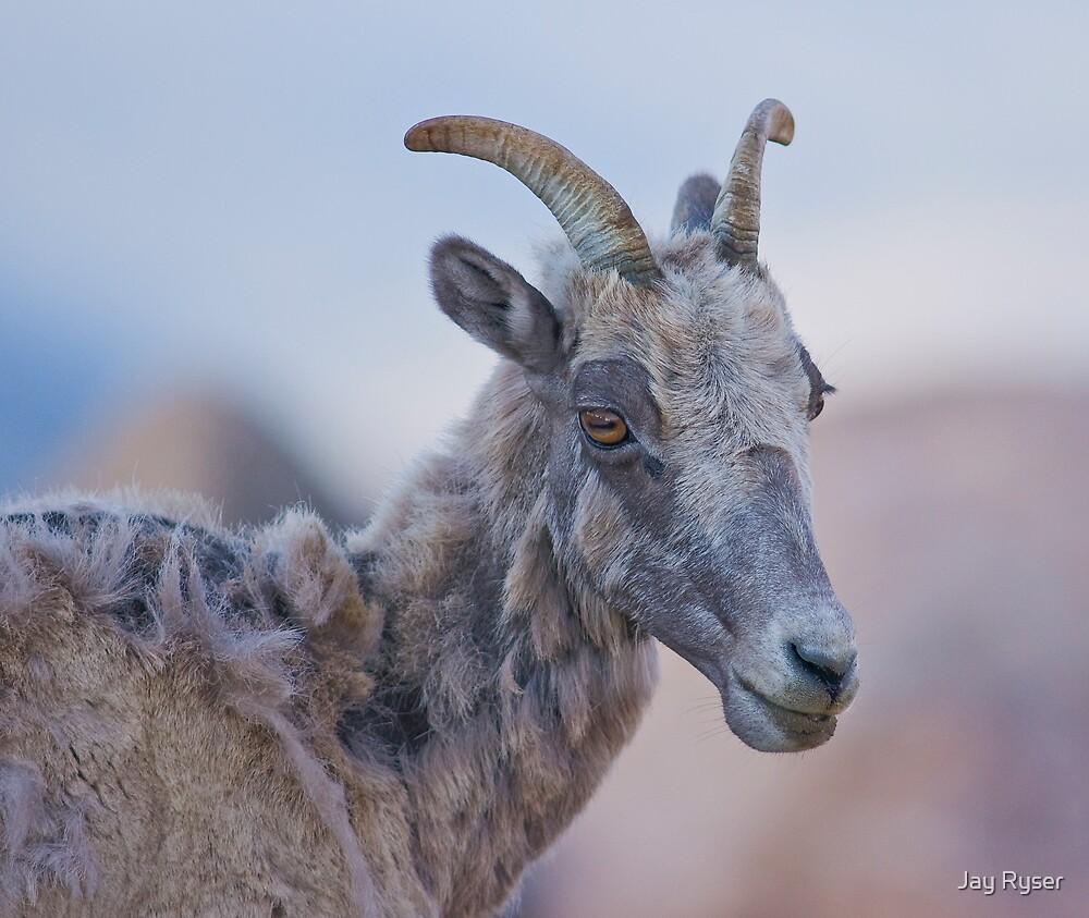 STOCK-Bighorn Portrait by Jay Ryser