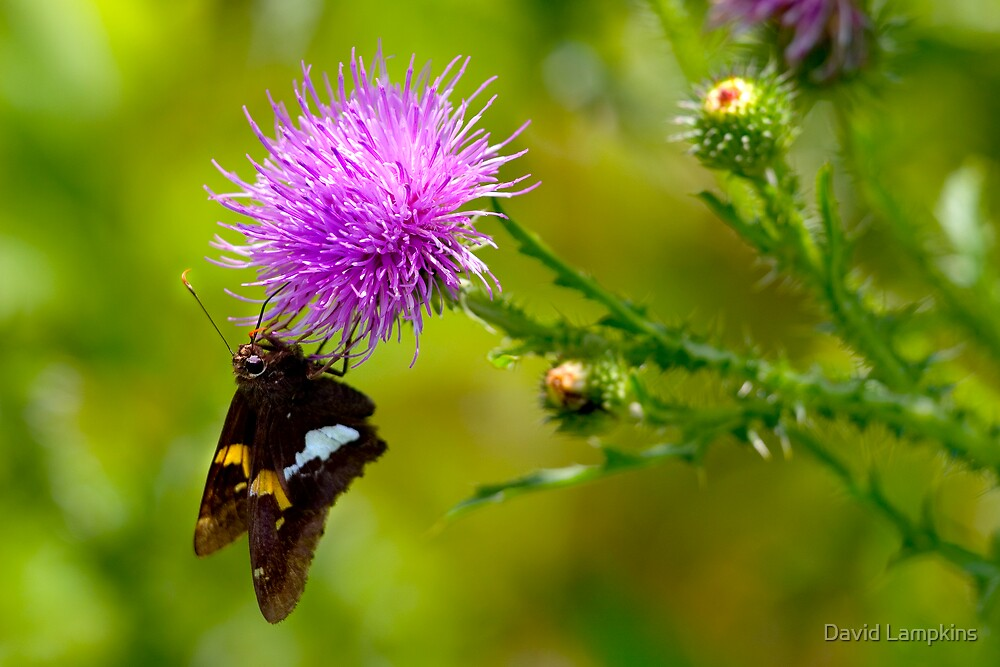 Butterfly & Thistle by David Lampkins