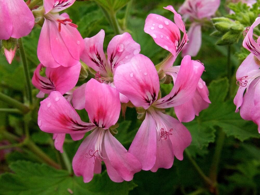 Pink Geranium (Pelargonium)  by Douglas E.  Welch