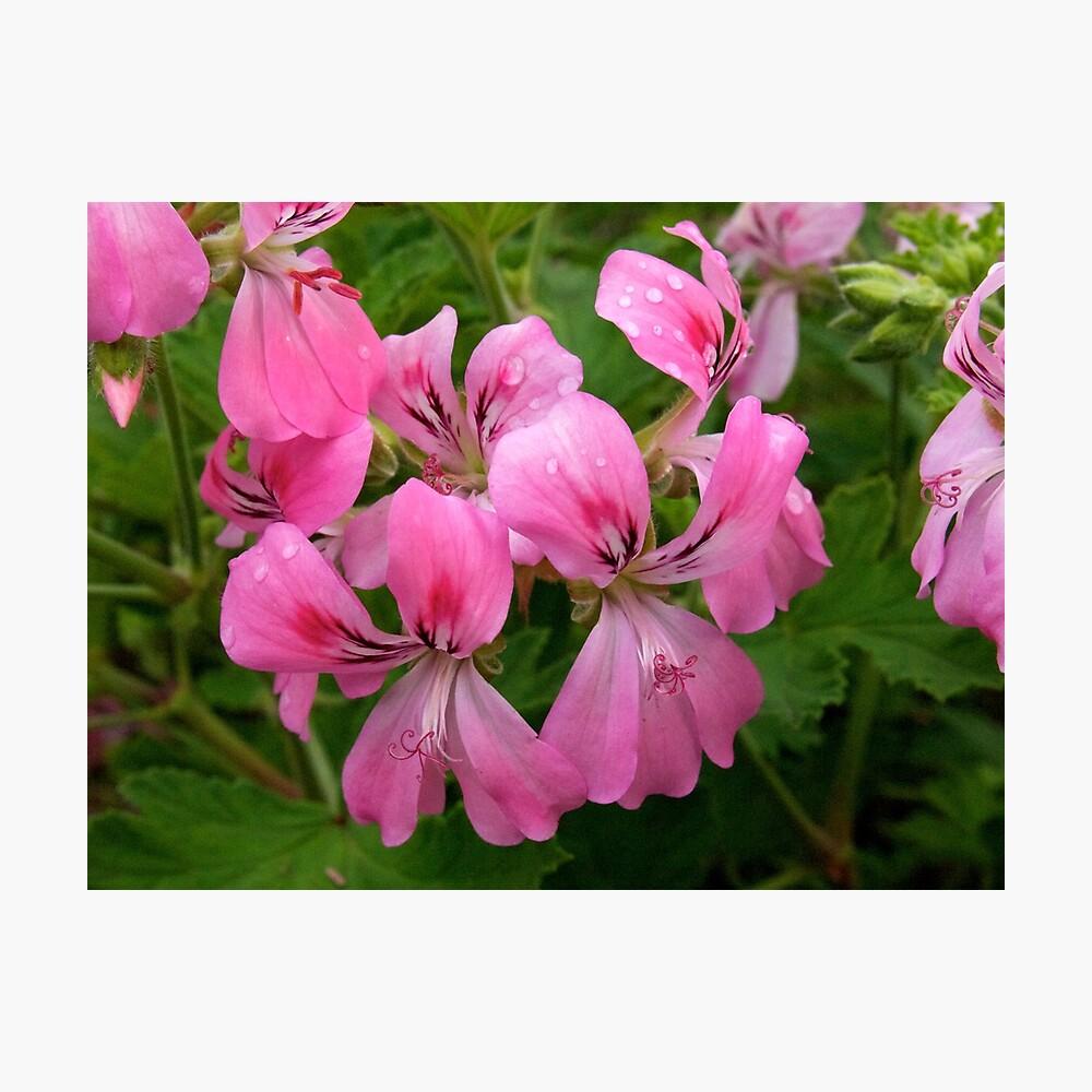 Pink Geranium (Pelargonium)  Photographic Print