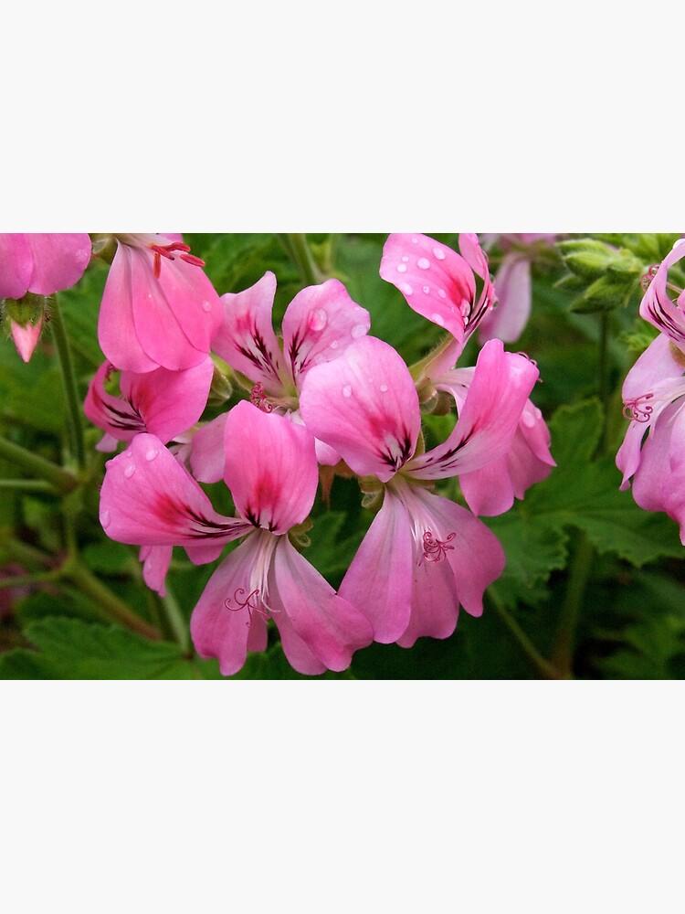 Pink Geranium (Pelargonium)  by douglasewelch