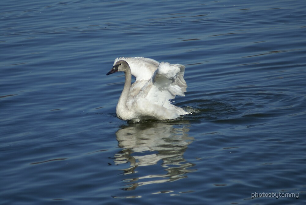 Trumpet Swan 2 by photosbytammy