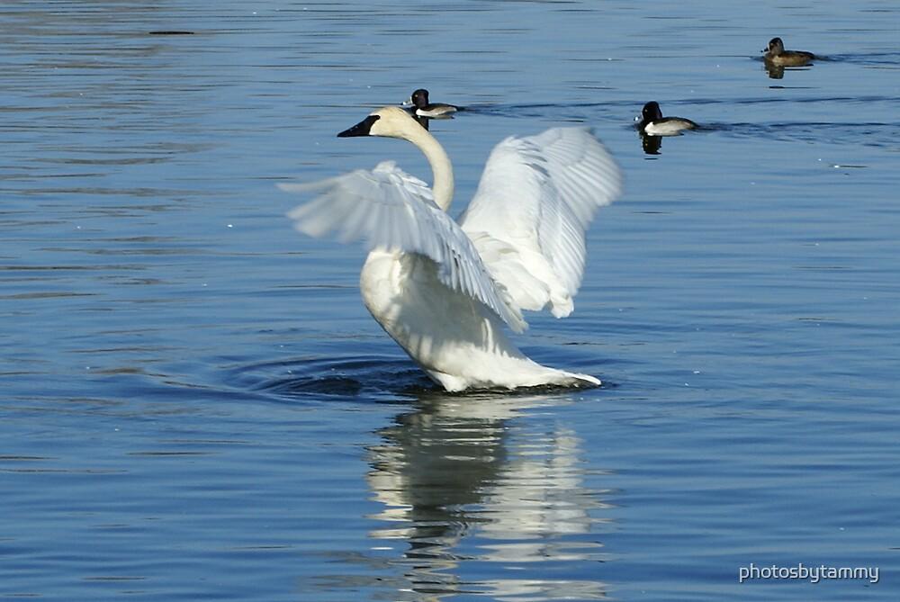 Trumpet Swans 4 by photosbytammy