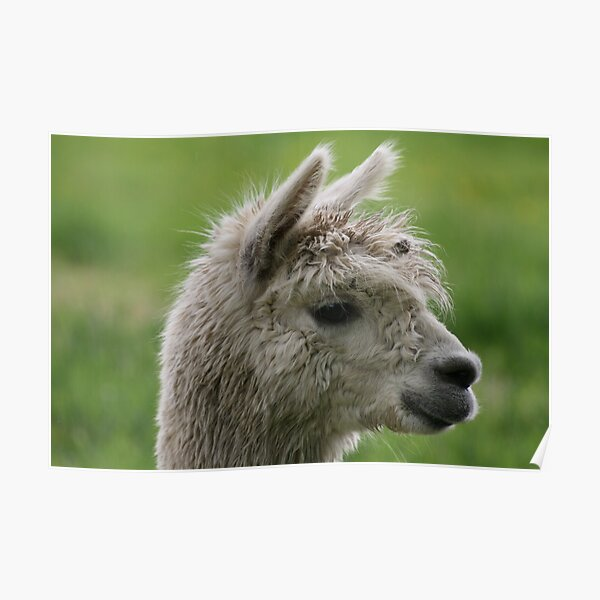 Alpacabagthen Poster