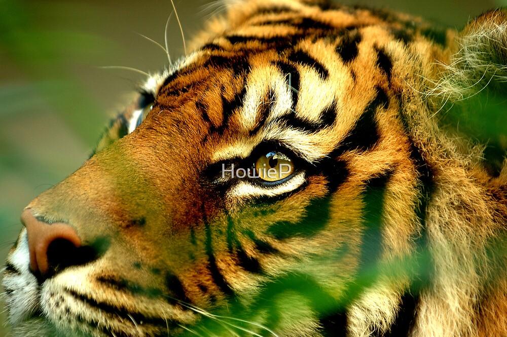 Sumatran Tiger by HowieP